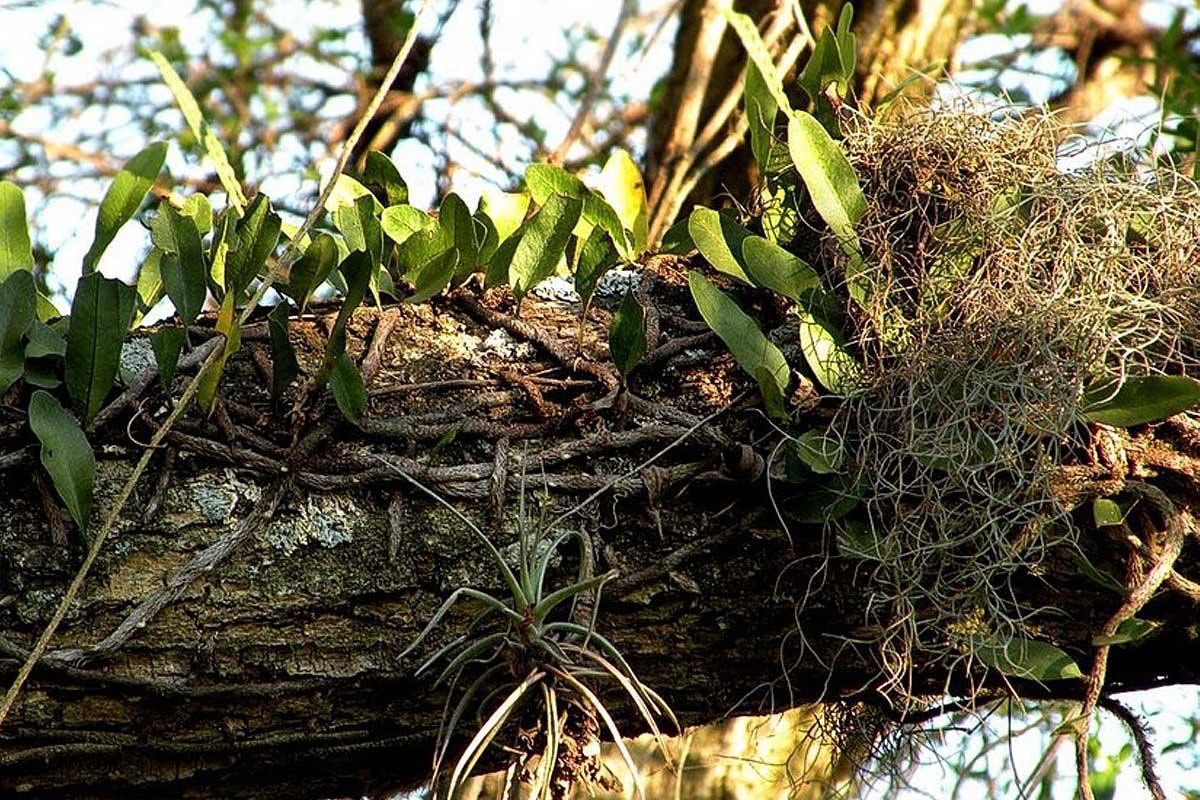 Epiphytes Air Plants Of The Amazon Rainforest
