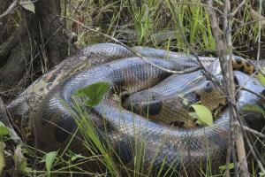 "Anaconda: Known to local people as the ""water mother�"