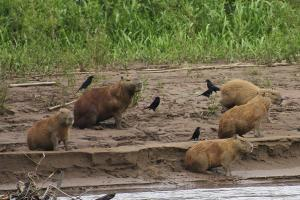 Capybara: The world's largest rodent roams Tambopata's Amazon forests