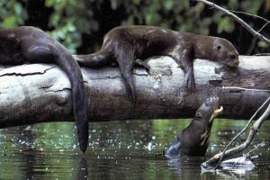Giant river otters: One of the Amazon forest's top predators