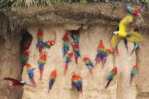 Macaw clay licks: One of the most spectacular sights in the Amazon