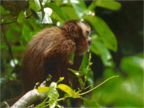 Monkeys: Tambopata's trees are home to troops of monkeys