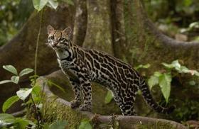 Ocelot: Once hunted for its fur, this species is now protected by Tambopata National Reserve