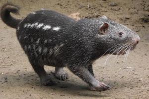 Pacarana: One of the strangest animals it is possible to see in the western Amazon