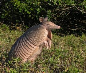 The giant armadillo: More teeth and longer claws than any other mammal