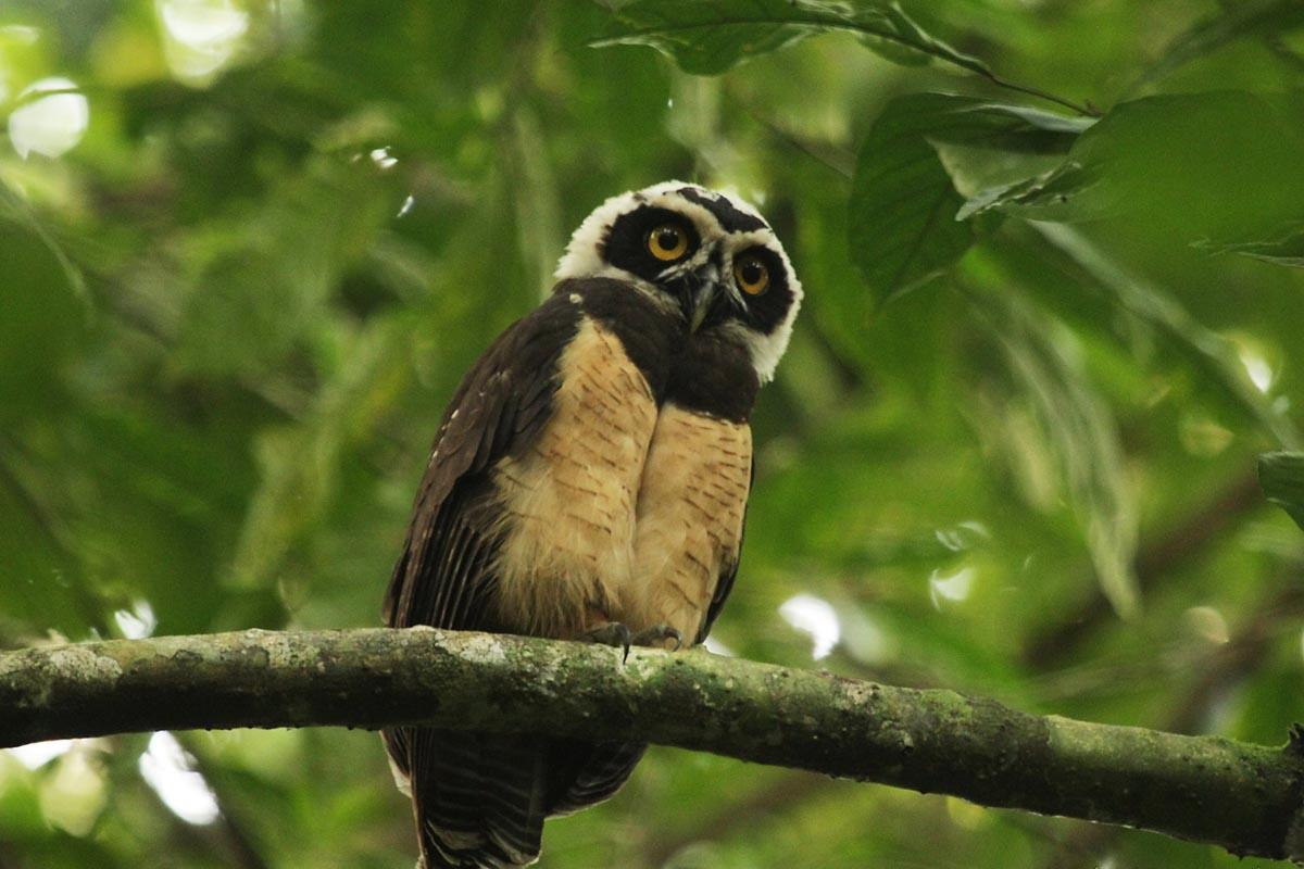 Spectacled Owl The Only Owl Found In The Amazon Forest
