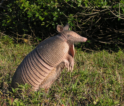 Image result for giant armadillo